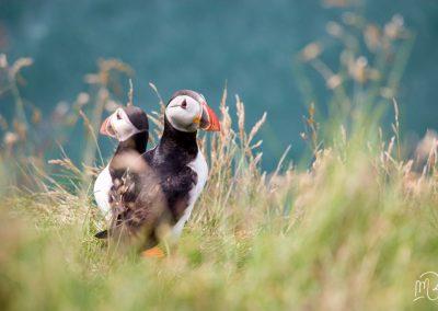 Carnet de voyage : Reportage photo en Iceland sur la nature et les oiseaux macareux. Photographe freelance en Gironde, Bordeaux.