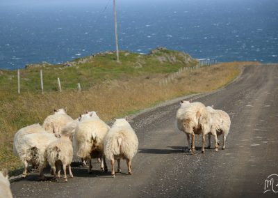 Carnet de voyage : Reportage photo en Iceland sur une route avec des moutons entre montagne et océan. Photographe freelance en Gironde, Bordeaux.
